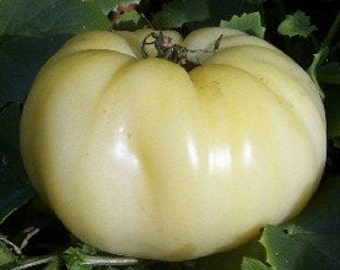 VTH) GREAT WHITE Tomato~Seeds!!!!~~~~~~~Tasty!!
