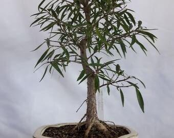 Willow Leaf Fig Bonsai, Ficus Salicaria  Bonsai Tree, Indoor Bonsai Plant