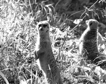 Meerkat Photography, Art on Canvas, Nature Photography, Nature Print, Canvas Art, Kids Room Decor, Nursery Decor, Zoo Animals, Meerkats, Art