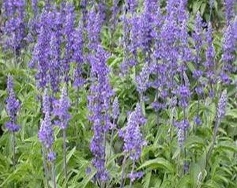 Salvia- Pratensis Blue- 100 Seeds