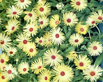 Ice Plant- Yellow- Livingstone Daisy- 100 Seeds
