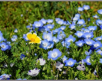Flower Seeds - BABY BLUE EYES - Super Easy to Grow!