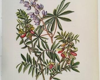 Antique floral print Wild Lupine & Goat's Rue, Vintage botanical illustration flower print, 1954