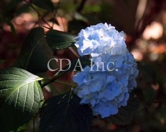 Blue Hydrangea Digital Download