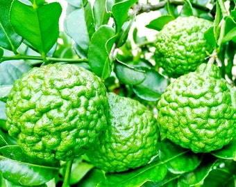 Heirloom Kaffir Lime/Citrus hystrix/Leech Lime/Makrut Lime/Mauritius Papeda, Organic Tropical Fresh Vegetable/Herb seeds