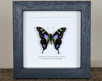 Purple Mountain Swallowtail in Box Frame (Graphium weiskei arfakensis) Real Butterfly Frame