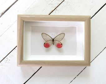 Real framed butterfly: Cithaerias aurorina // glasswing butterfly // pink butterfly