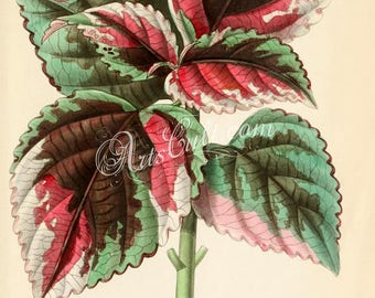 flowers-31200 - coleus saisonii leaves green and red color vintage printable illustration picture image jpg leaf print floral botanical jpg
