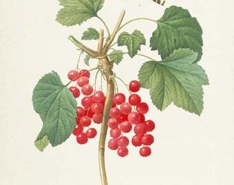 Redcurrant Botanical Print, Redcurrant Art Print, Butterfly, Fruit Art, Fruit Print, Kitchen Art, Garden, Redoute, red, green, Ribes rubrum