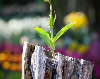 Lone Tulip - Tulips, Flowers, Fine Art, Life from Death, Skagit Valley, Farm house