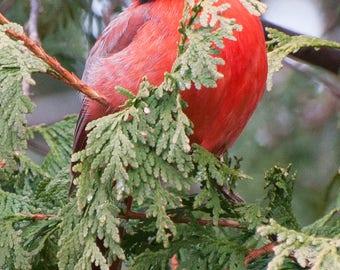 Bright Red Cardinal