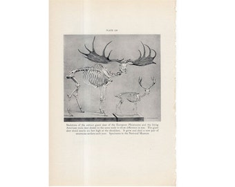 c. 1934 DEER SKELETONS lithograph - comparative anatomy - Smithsonian Museum Natural History - original vintage print - Pleistocene EXTINCT