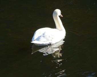Trumpeter Swan Enjoying the Sun