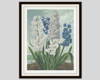 Hyacinths, Vintage Botanical Print, Cottage Decor, Temple of Flora, Spring Flowers, Blue and White Flowers, Print to Frame, Floral Art Print