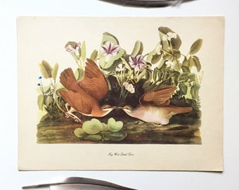 Vintage John James Audubon Bird Print / Key West Quail Dove / Vintage Natural Science Home Decor / Art Illustration / Great for Framing
