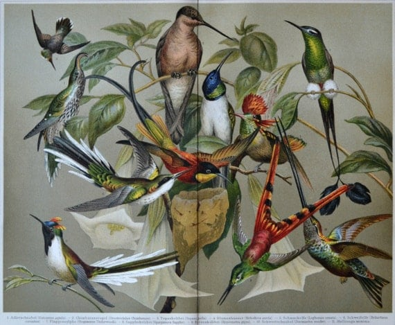 Hummingbird print. Birds. Old book plate, 1904. Antique illustration. 112 years lithograph. 9'6 x 11'7 inches.