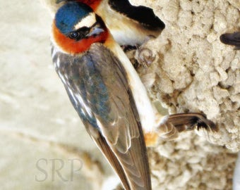 Share A Little Shelter - INSTANT DOWNLOAD - Cliff Swallows in Nest