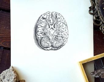 1950 Human Brain Original Vintage Anatomy Vesalius Art Illustration Print