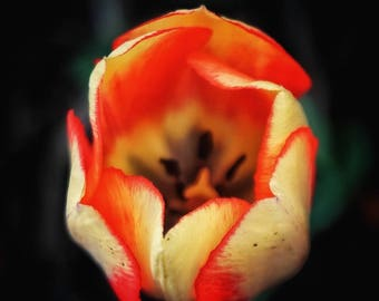Colorful Tulip (Original Photo)