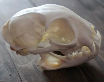 Bobcat Skull // Lynx Rufus Skull // Wildcat Skull // Taxidermy Cat Skull // Bay Lynx Skull // Cougar Skull // Feline Skull