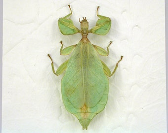 Phyllium siccifolium - Walking Leaf -Real Framed Insect