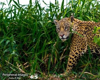 Jaguar Photography, Brazil Photography, Wildlife Photography, Brazilian Prints, Nature Photography, Fine Art Photography; Pantanal, Brazil