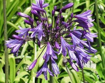 Agapanthus - purple bloom aka Lily of the Nile - Storm Cloud