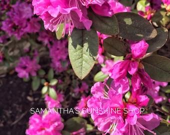 Original Photography Pink Azaleas Photo Garden Nature Photo Floral Photo Wall Decor Flowers Landscape Photo Housewarming Gift Birthday Gift