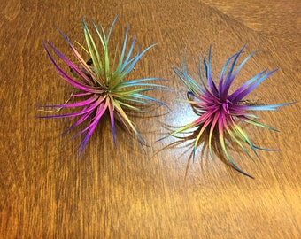 "2 Live Tillandsia Air Plants Fairy Garden Color 4"" Wide"