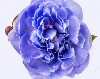 Styled stock photography. White background with isolated violet peonies. Top view. High Res JPG file.