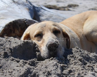 labrador retriever; yellow lab; dog photo; fishers island; new york; dog on beach; pet photography; connecticut; animal photograph