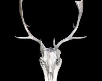 Fallow Deer Antlers Etsy