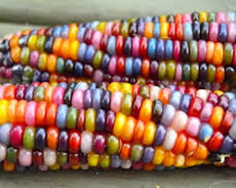 Rainbow Corn GLASS GEM 30 Seeds Heirloom Organic #2015