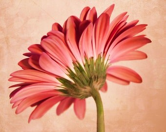 Pink Gerbera Daisy, Pink Floral, Daisy Print
