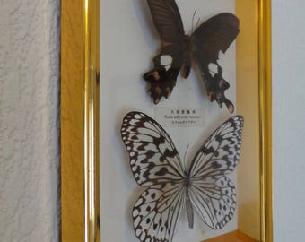 Pair of Taxidermy Stuffed Moth Butterfly Byasa Polyeuctes Temessus & Other