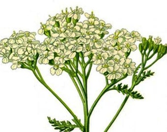 Yarrow tea (flowering) - blood Circulation, menstruation, terminology