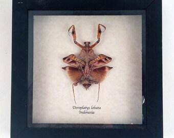 Real mantis framed - Deroplatys lobata