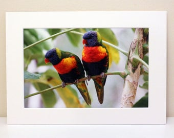 Mounted Photograph of Two Rainbow Lorikeets sitting in a Tree in Queensland Australia