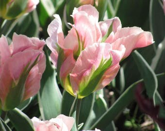 Tulips Photo item # 4033