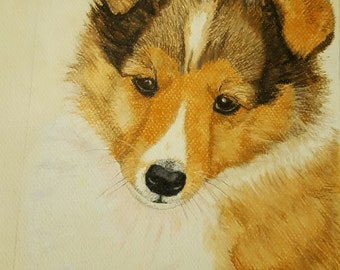 Portrait of a Shetland Sheepdog