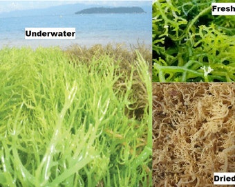Kappaphycus - Dried Seaweed Sea Birds Nest (1KG)