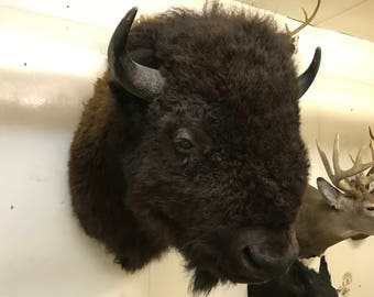 American bison/buffalo herd bull full shoulder mount