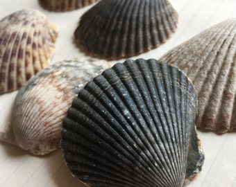 Shells for crafting or home decor.
