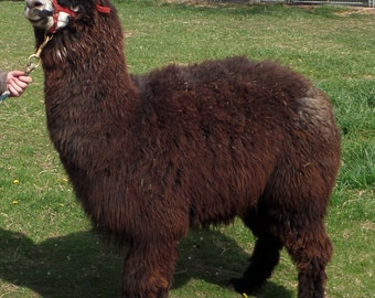 "Raw Alpaca Fiber, 5"" Staple, Dark Rose Gray, 2.0 lbs, Harsh winter raised"