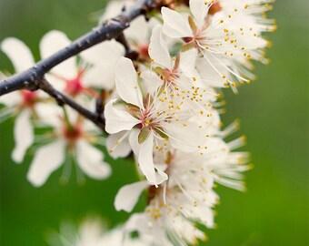 Nature Photography, Farmhouse Decor, Flower Photograph, Cherry Blossoms, Spring Print, Floral Photo, Wall Art, Fine Art Print, White, Green