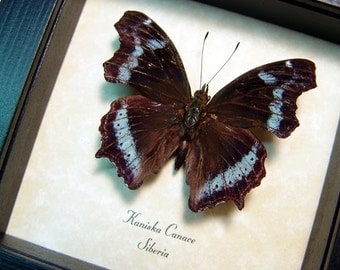 Real Framed Rare Kaniska Canace The Blue Admiral Butterfly 8410