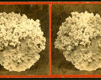 Coral Specimen - Natural History - 1860s Stereoview
