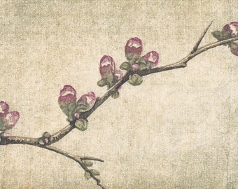 Original Woodblock Reduction Print - Quince No. 1 hand-pulled woodblock moku haga fine art print limited edition flower