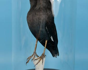 real birds taxidermy of 2 headed myna,mounted in glass dome cool gift,free shipping