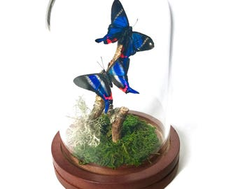 Real Blue and Pink  Butterflies preserved in Glass Dome Cloche
